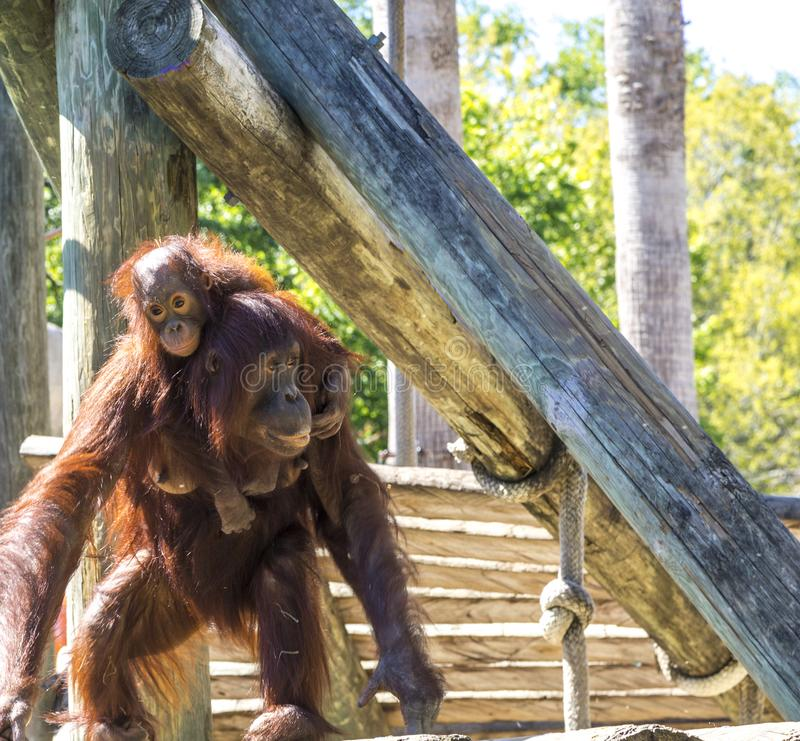 Mother Orangutan With Infant royalty free stock photos