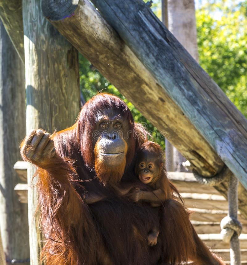 Mother Orangutan With Infant stock photography