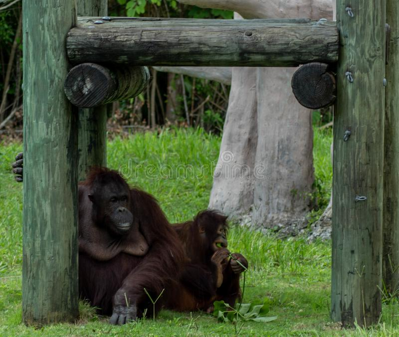 Mother Orangutan Relaxing in Shade as Child Eats Leaf Stem. A mother orangutan relaxes in the shade and looks into the distance as her child nibbles on the stem royalty free stock image