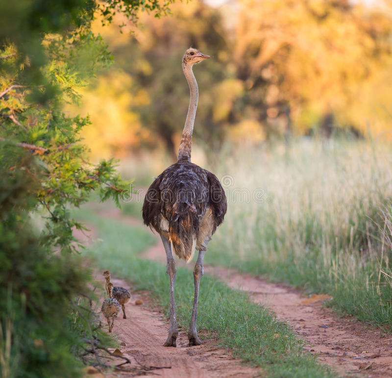 Mother ostrich. A mother ostrich walking down the road with her chicks following stock images