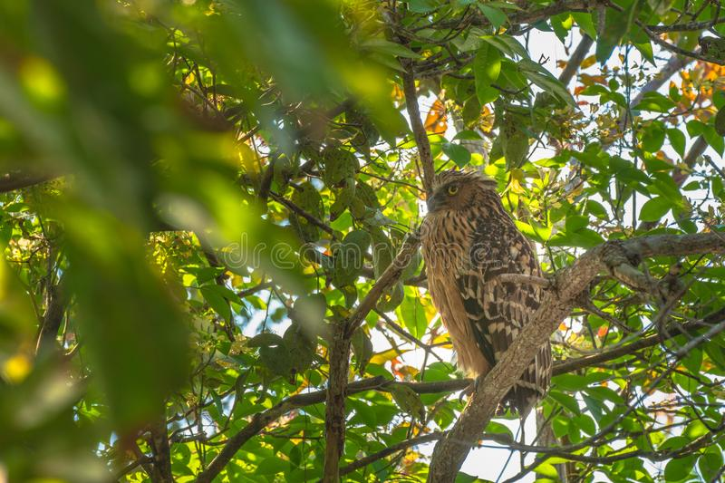 The mother of the owl watched the baby bird in the nest carefully. At reserved swamp forest area Phatthalung Southern Thailand royalty free stock photos