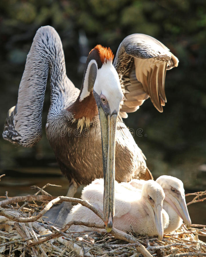 Mother Pelican hovers over young chicks. Brown Pelican hovers over her young chicks with her wings spread in an aggressive stance stock image