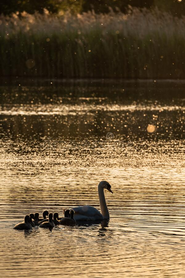 Mother pen swan and cygnets in evening sun on lake royalty free stock photo