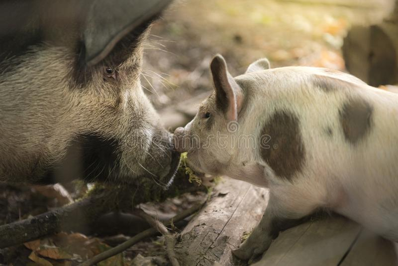 Mother pig and baby piglet royalty free stock photo