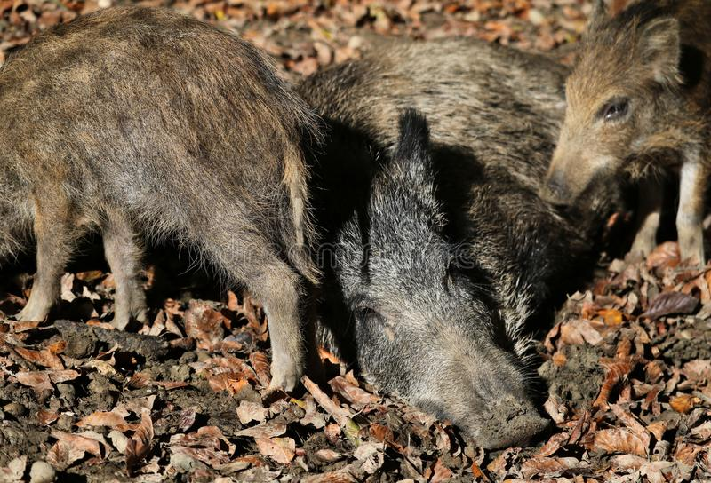 Mother pig harassed by two piglets is trying to sleep stock images