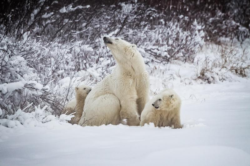 Mother polar bear with two cubs just out of hibernation stock images