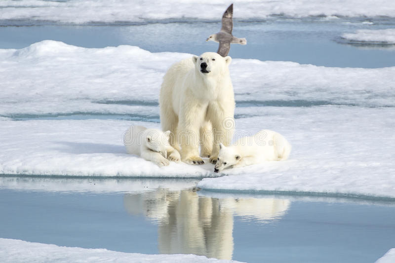 Mother Polar Bear and Two cubs on Sea Ice. A beautiful polar bear family in the sea ice! The two cubs feel safe while the mother bear keeps a watch and are able stock photos
