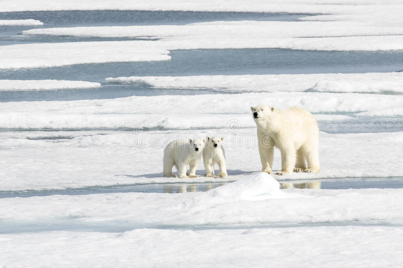 Mother Polar Bear and Two cubs on Sea Ice. A beautiful polar bear family in the sea ice! The two cubs feel safe while the mother bear keeps a watch. The mother royalty free stock photo
