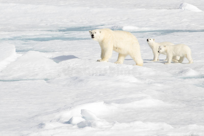Mother Polar Bear and Two cubs on Sea Ice. Polar bear cubs learn the way of life from their mother. Here the two cubs are trying to help mommy in sniffing for stock photo