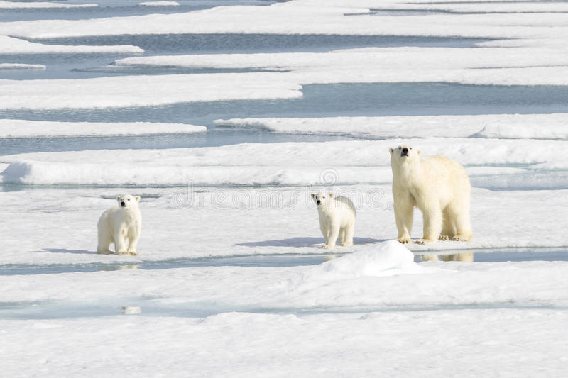 Mother Polar Bear and Two cubs on Sea Ice. Polar bear cubs learn the way of life from their mother. Here the two cubs are trying to help mommy in sniffing for royalty free stock image