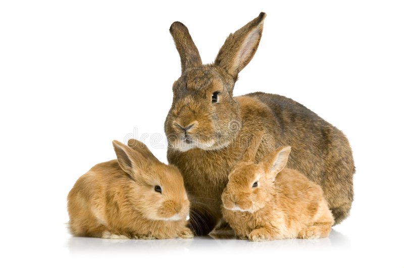 Download Mother Rabbit stock photo. Image of furry, baby, isolated - 2307398
