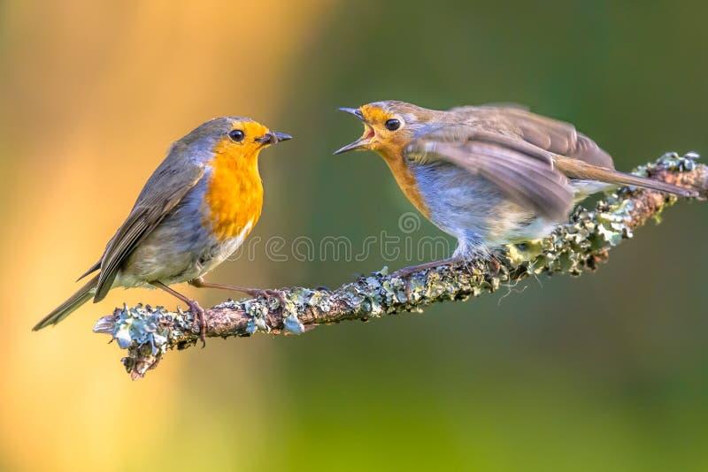 Mother Robin bird feeding young stock photography