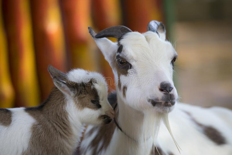 The mother`s goat and baby. Goat are sweet royalty free stock photo