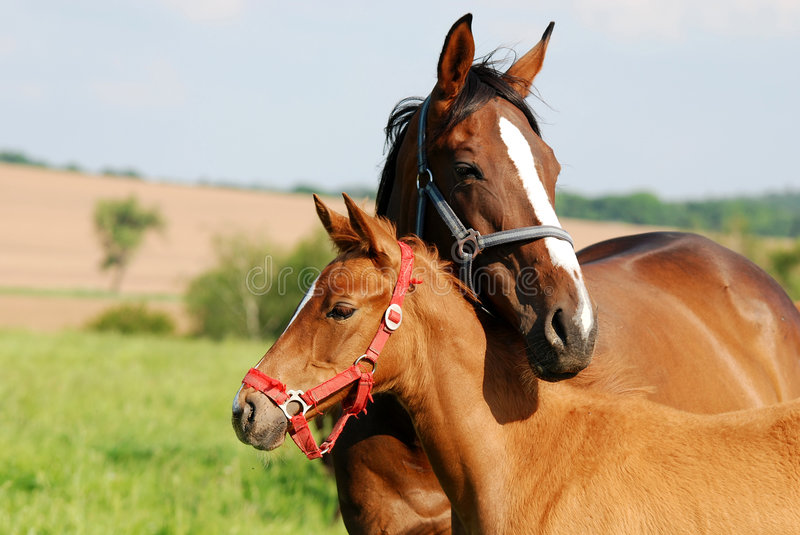 Mother's love. Horses from napajedla(czech)are beautiful animals stock photography