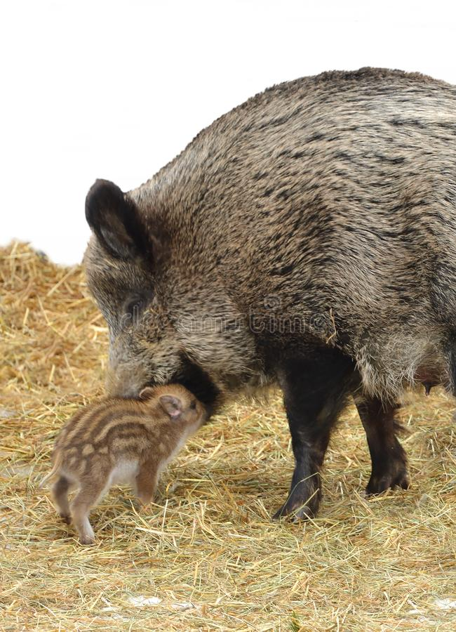 Mother`s love. Central European wild boar Sus scrofa scrofa with piglet royalty free stock photo