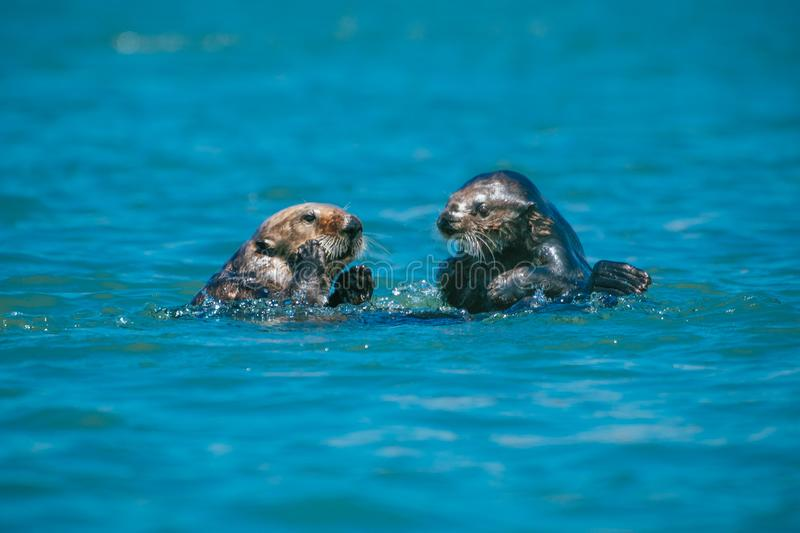 Mother sea otter with her pup having a talk. A mama sea otter, at right, looks to be discussing something with her pup in Morro Bay on California`s Central Coast stock photography