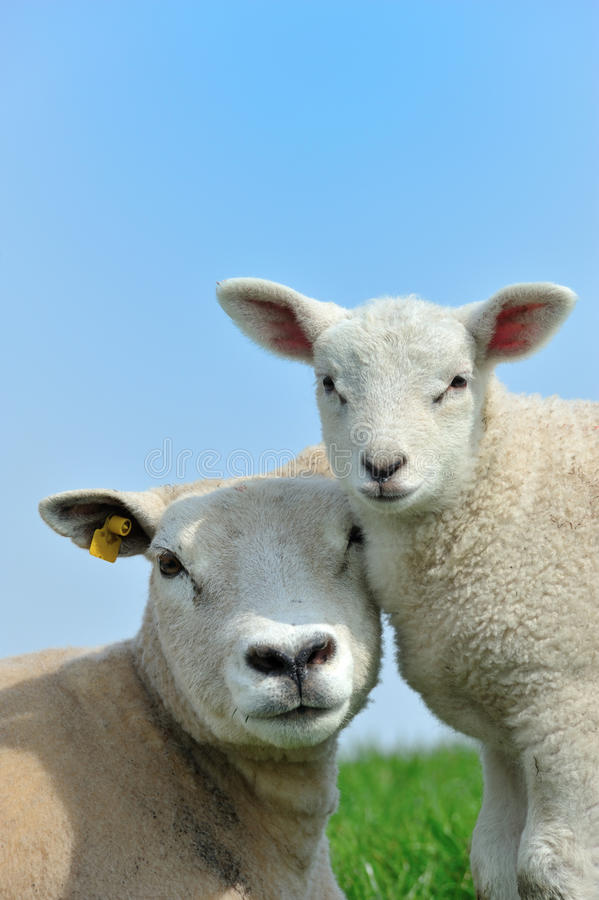 Free Mother Sheep And Her Lamb In Spring Stock Photos - 13954603