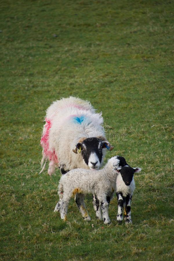 Mother sheep ewe with two young lambs stock image