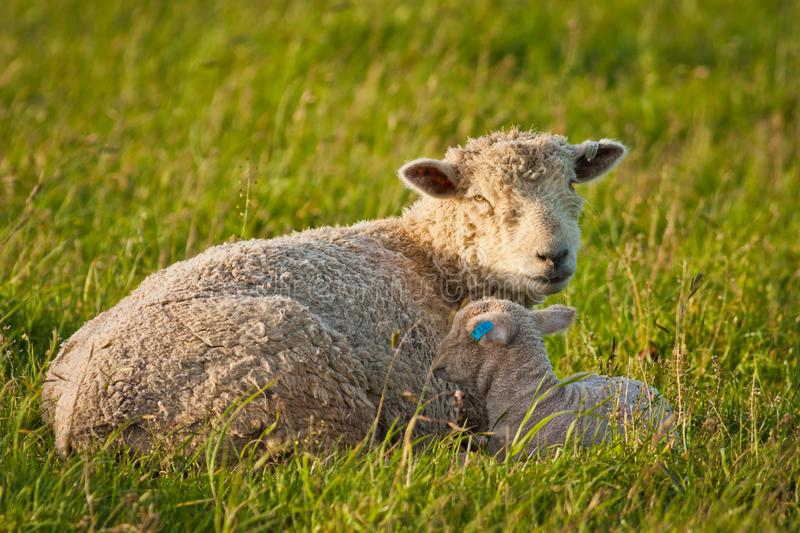 Mother sheep with her baby on pasture in New Zealand royalty free stock image