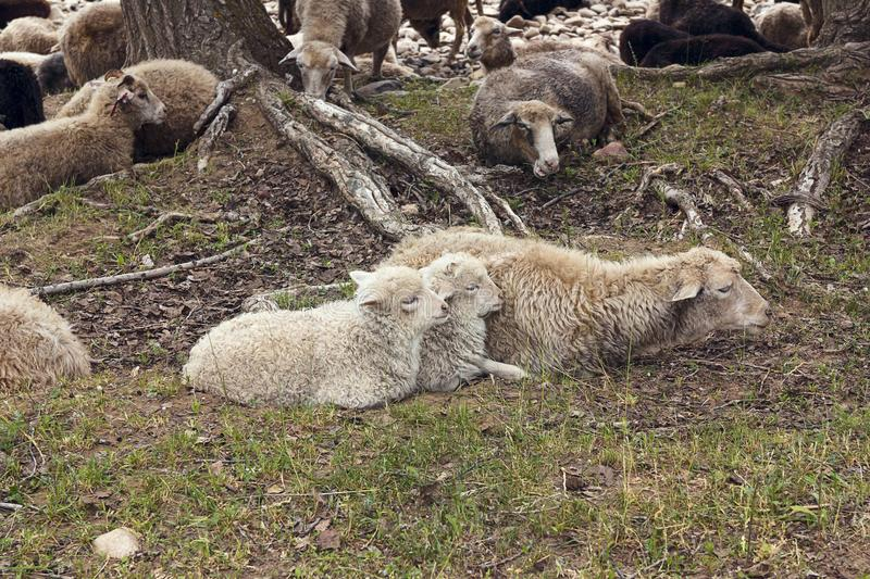 Mother sheep with her lambs. stock images