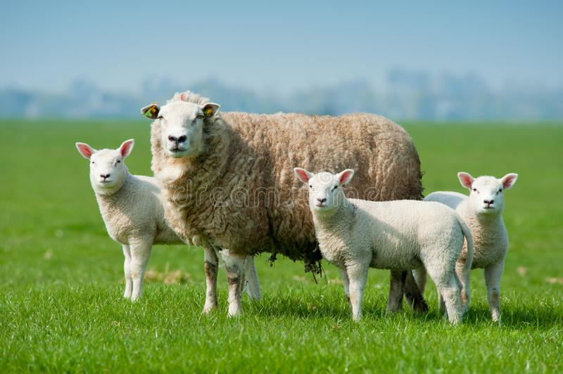 Download Mother Sheep And Her Lambs In Spring Royalty Free Stock Photos - Image: 19331478