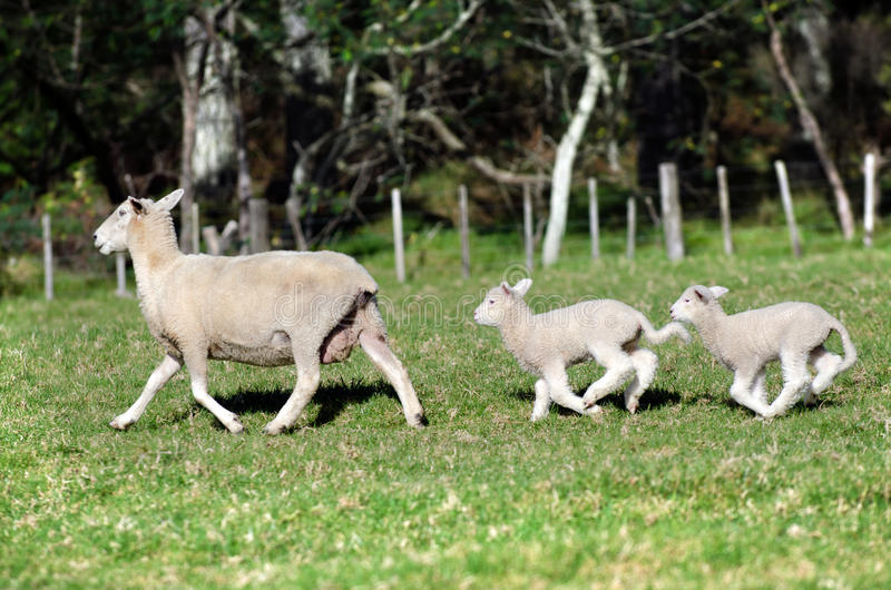 Mother sheep and her two newborn lambs royalty free stock photos
