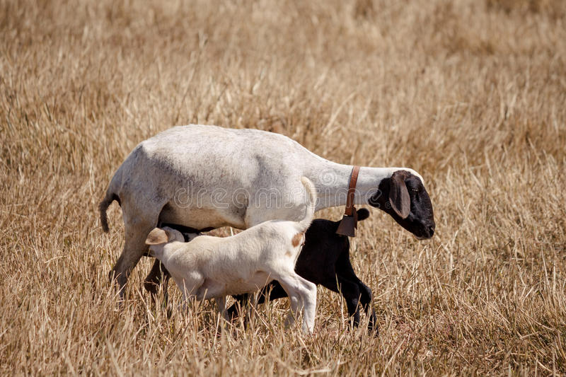 Mother sheep and lambs royalty free stock image