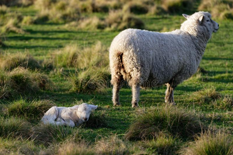 A mother sheep is standing and her lamb is lying down. A ewe is standing in a paddock with her lamb lying on the ground stock images