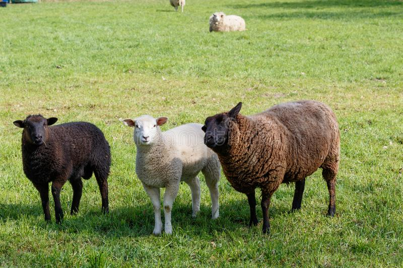 Mother sheep with tow lambs on a green meadow royalty free stock photo