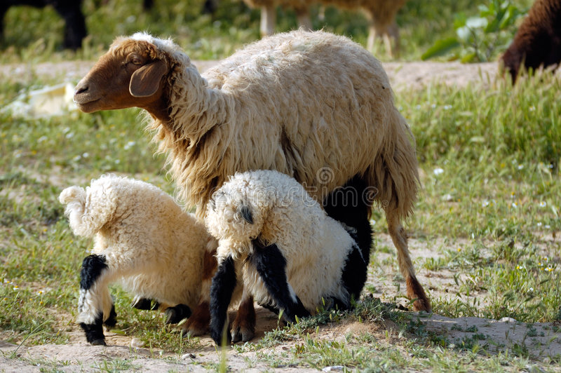 Download Mother  Sheep And Twins Stock Photos - Image: 6244383