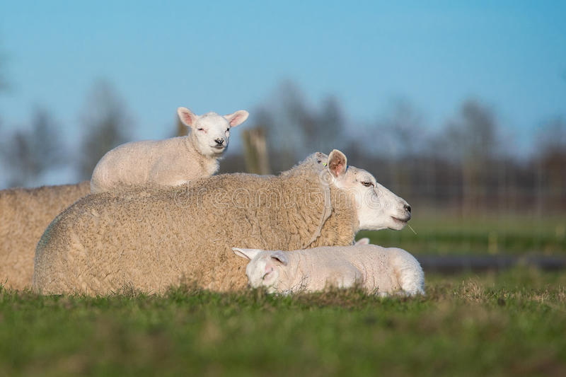 Mother sheep with two lambs, one next to her and one lying on her royalty free stock photos