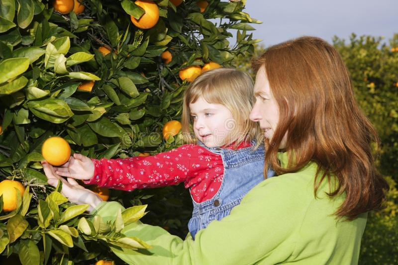 Download Mother Showing Daughter Orange Tree Harvest Stock Image - Image: 14812271