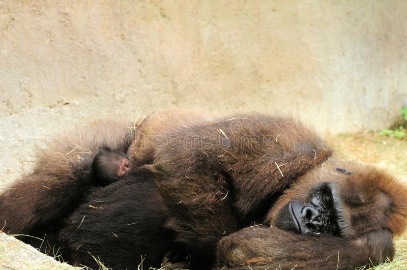 Mother sleeping with baby. Female lowland gorilla resting with her two-day-old baby on the ground of Zoo Miami, South Florida. The baby was born June 19, 2011 stock photo