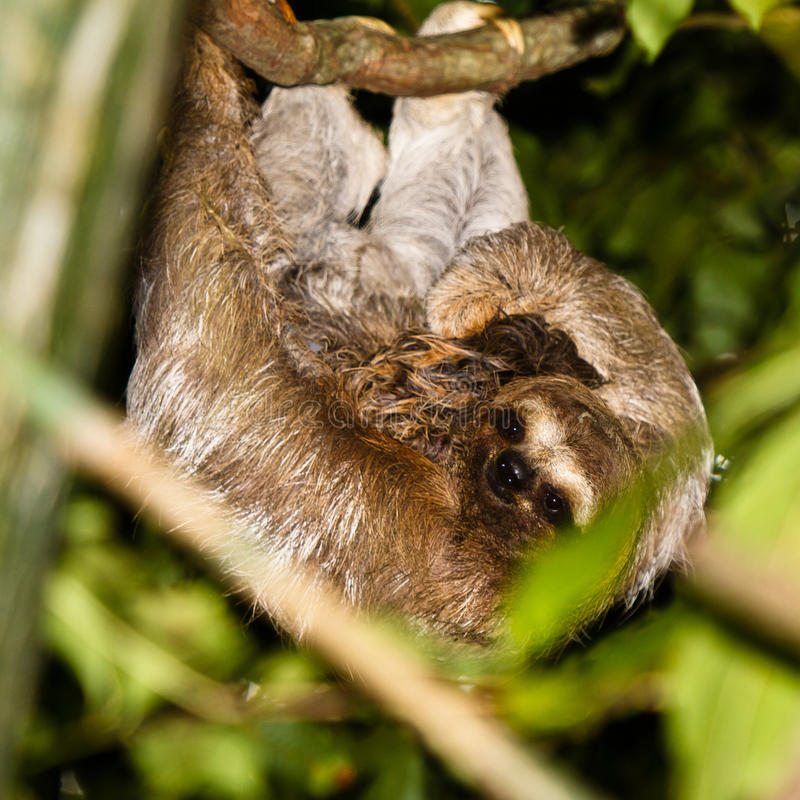 Mother sloth holding baby. stock image