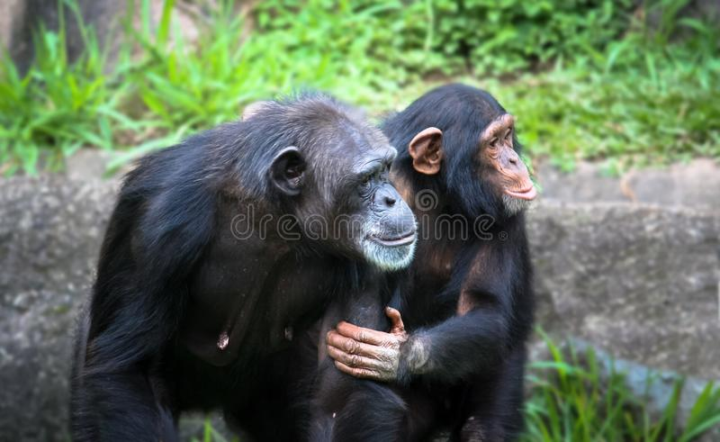 Mother and son chimpanzees: young chimpanzee chimp holds the arm and body of her chimpanzee mother. Mother and son chimpanzees: young chimpanzee holds the arm stock photos
