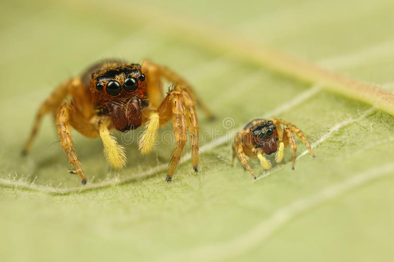Mother and son!. Mother and son creation of two jumping spiders royalty free stock photo