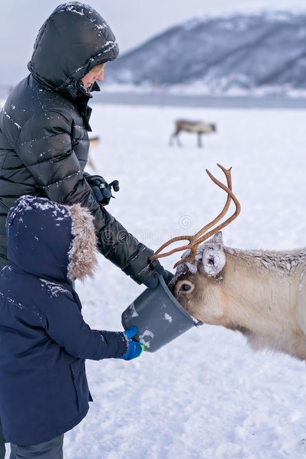 Tourists feeding reindeer in winter royalty free stock photo