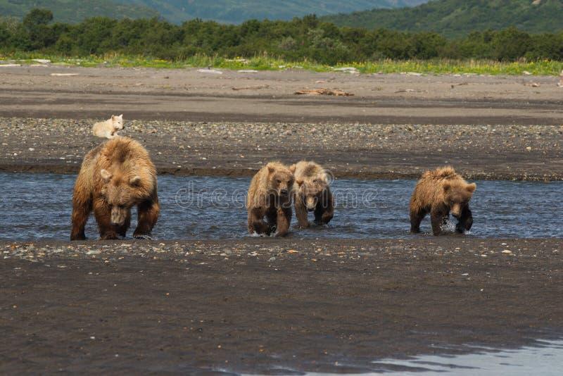Alaskan Brown Bear - Grizzly - ursus arctos and cubs royalty free stock photography