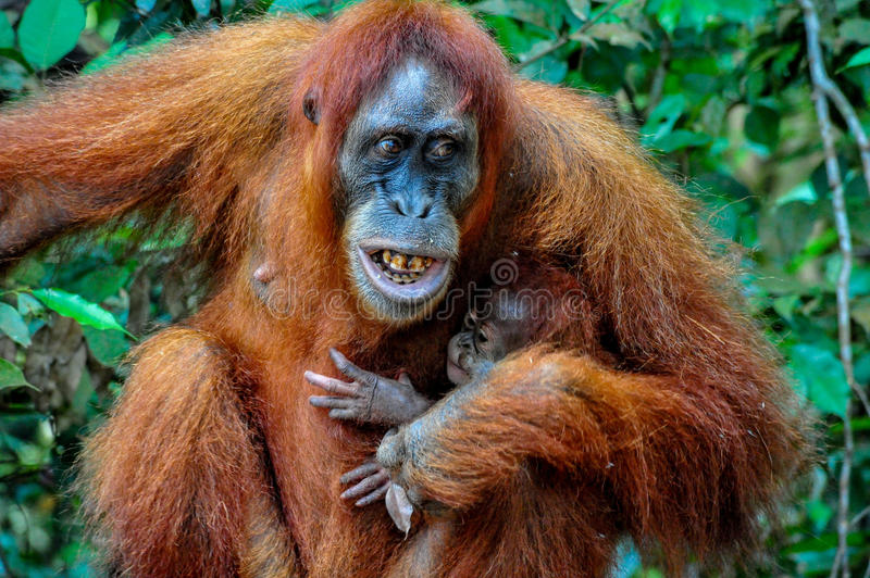 Mother Sumatran Orangutan with baby showing her teeth with anger stock images
