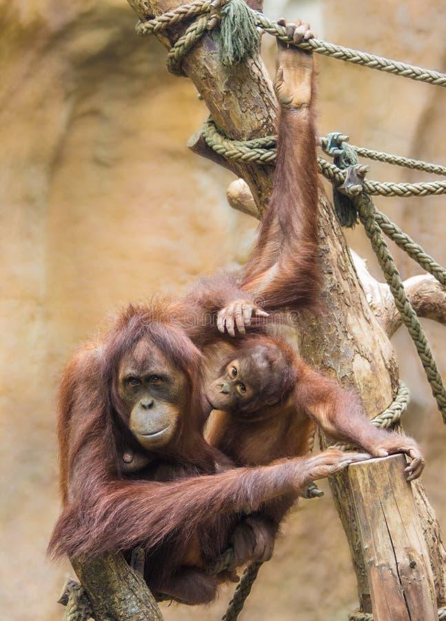 Mother sumatran orangutan royalty free stock photos