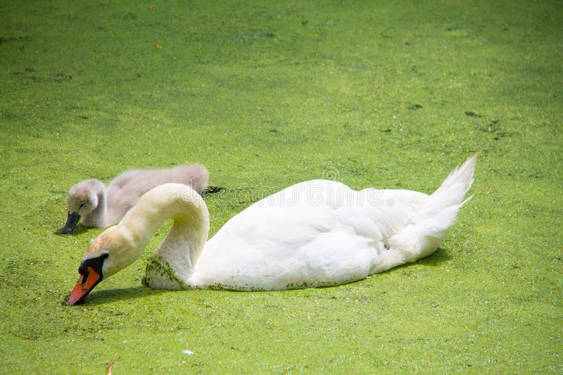 Mother swan and baby in water covered by green moss stock photography