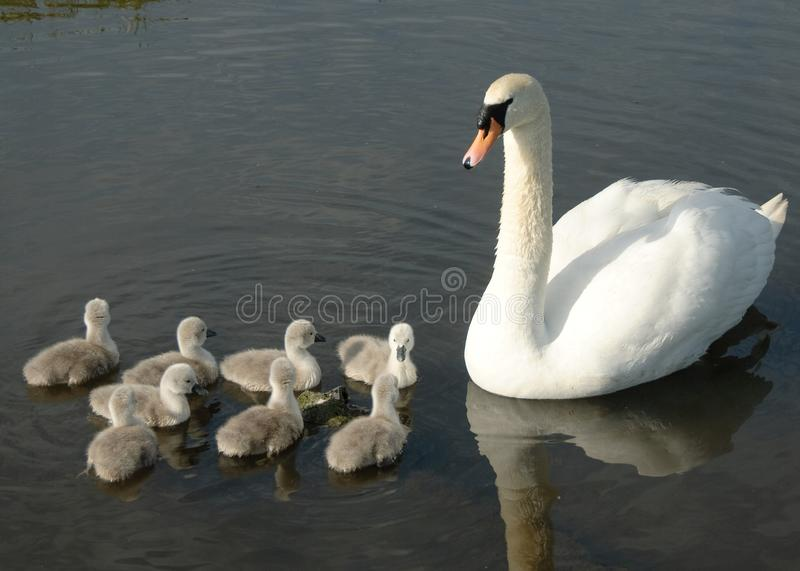 Mother swan and het cygnets stock images