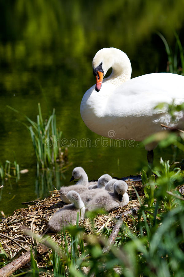 Mother Swan & Cygnets royalty free stock photo