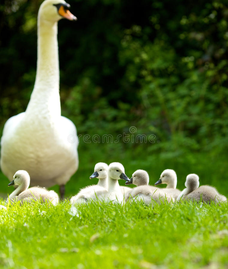 Mother Swan & Cygnets stock photography