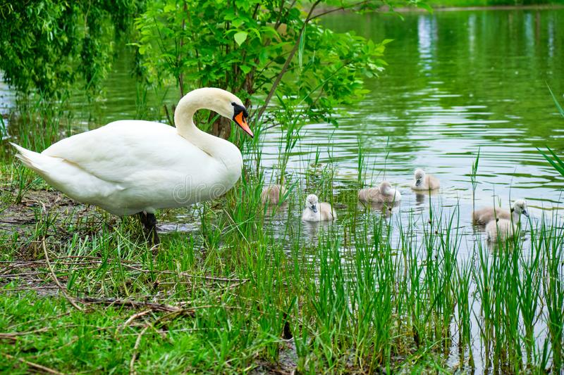 Mother swan white Mute swan watching over its cute, several days old, cygnets swimming at the edge of a lake, between tall grass royalty free stock image
