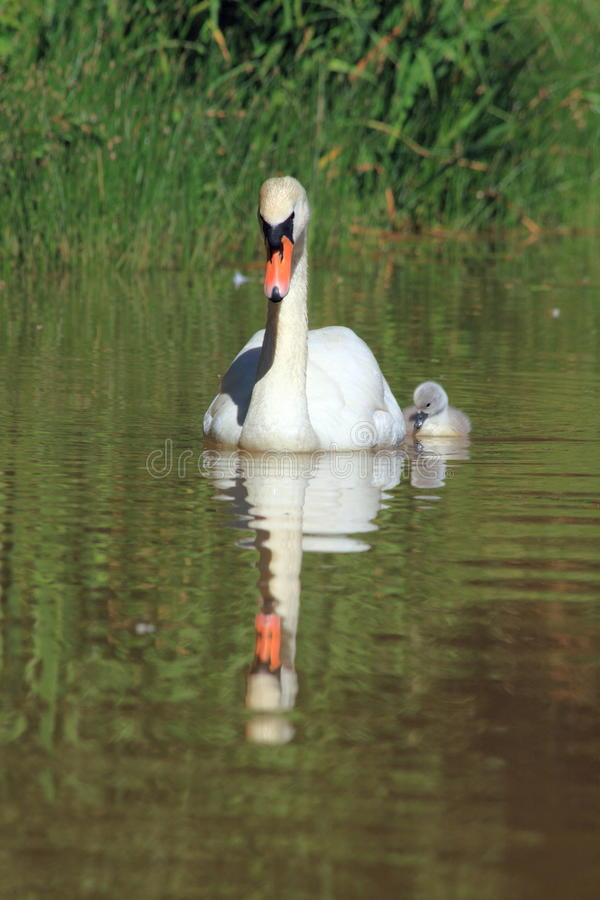 Free Mother Swan With Little Chick Stock Photos - 19733163