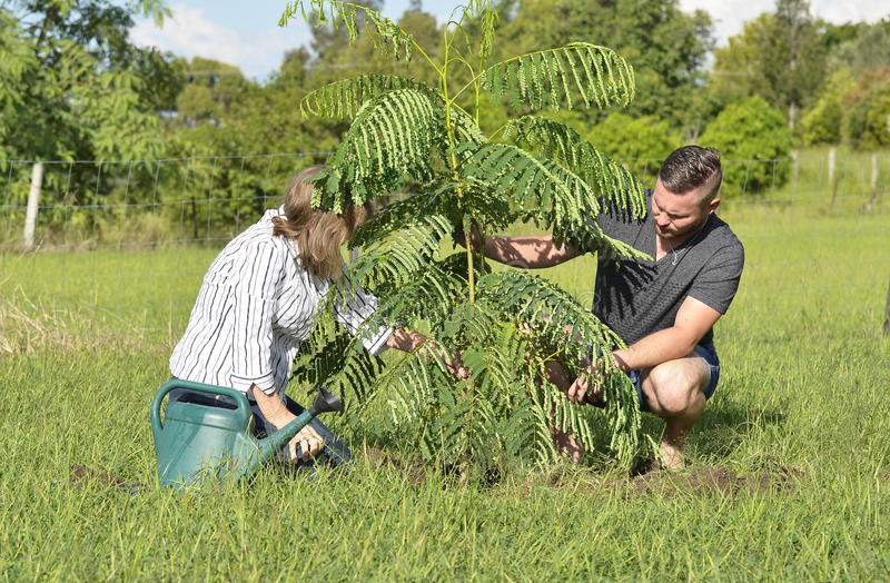 Mother teaching adult son planting a new tree and care. A mother and son taking time out together to plant a new young Poinciana tree on their home property. The