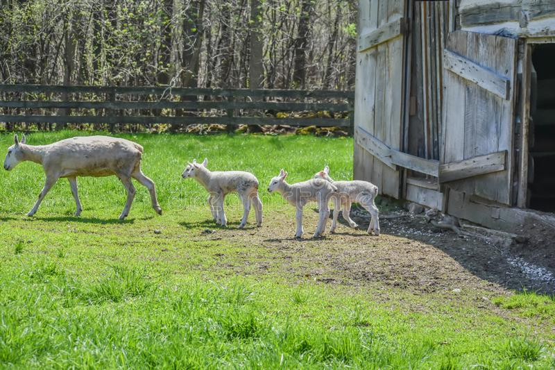 Mother and Three Baby Lambs Walking Out of Barn royalty free stock photo