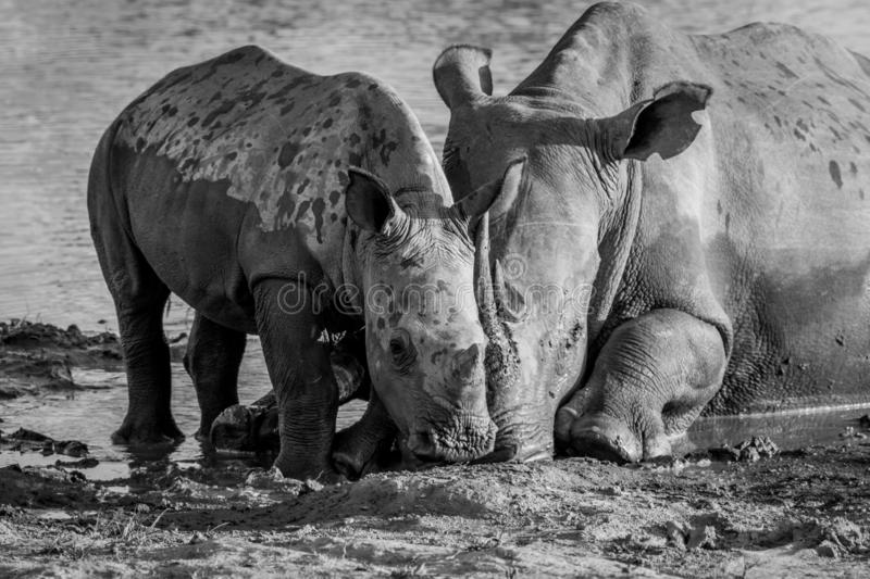 Mother White rhino with a baby calf. In the mud in black and white, South Africa stock photos