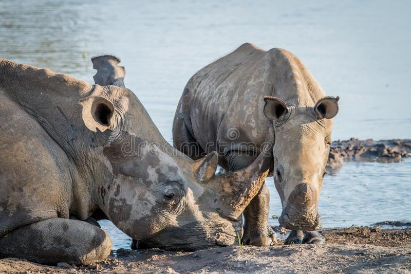 Mother White rhino with a baby calf. In the mud, South Africa royalty free stock photo